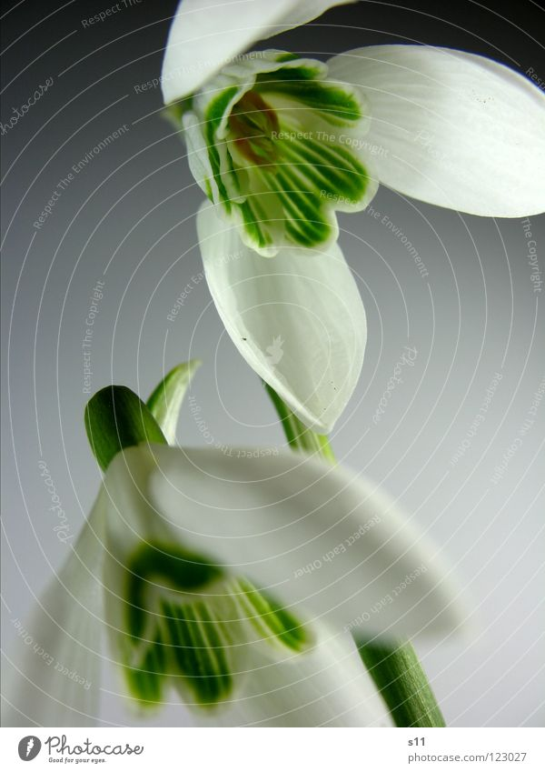 Spring is here... Nature Plant Flower Blossom Park Green White Snowdrop Bell 2 Blossom leave herald of spring Stalk In pairs Close-up Detail