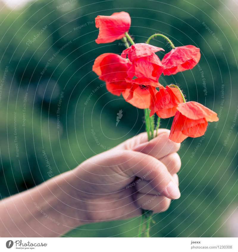 Take this! Hand Flower Old Uniqueness Beautiful Green Red Sadness Disappointment Remorse Transience Poppy Bouquet Corn poppy Colour photo Exterior shot Day