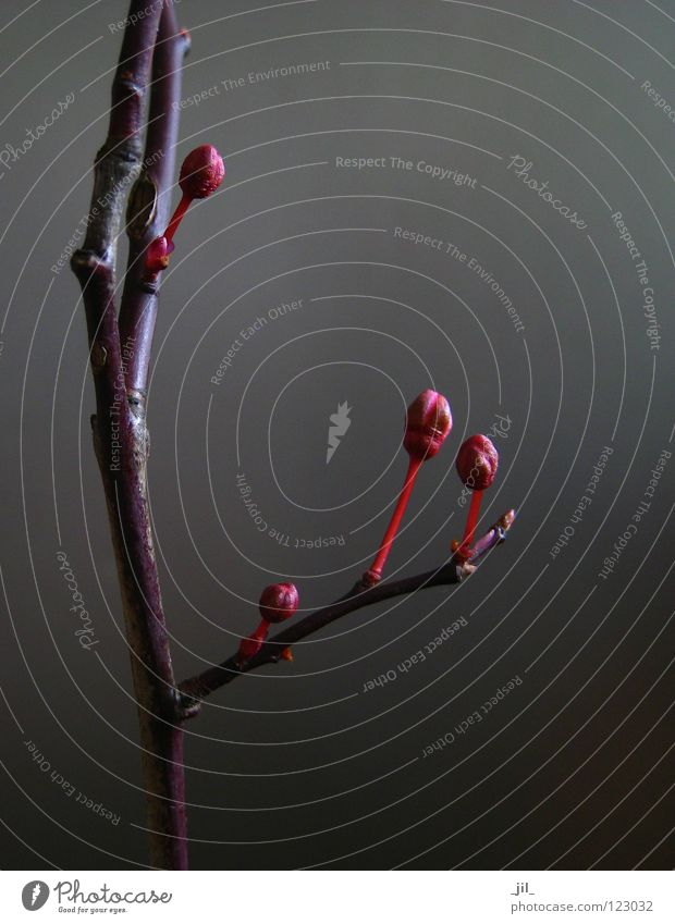 Nature Beautiful Tree Red Life Dark Blossom Gray Brown Beginning Force Growth Simple Clarity Branch Delicate