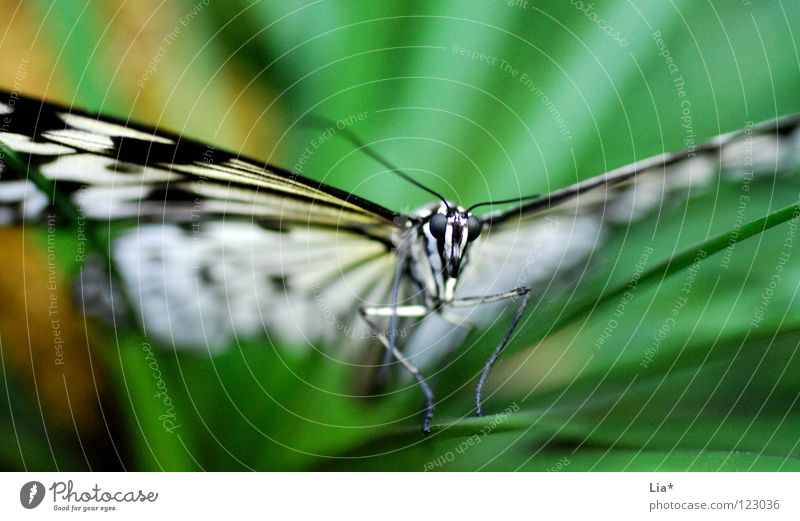 Nature White Green Beautiful Black Head Flying Sit Stripe Wing Insect Butterfly Easy Fine Feeler Graceful