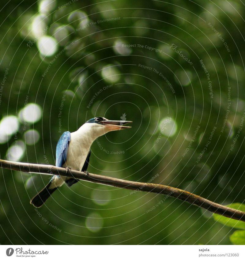 White Tree Blue Animal To talk Bird Environment Sit Communicate Open Asia Branch Scream To hold on Wild animal Beak