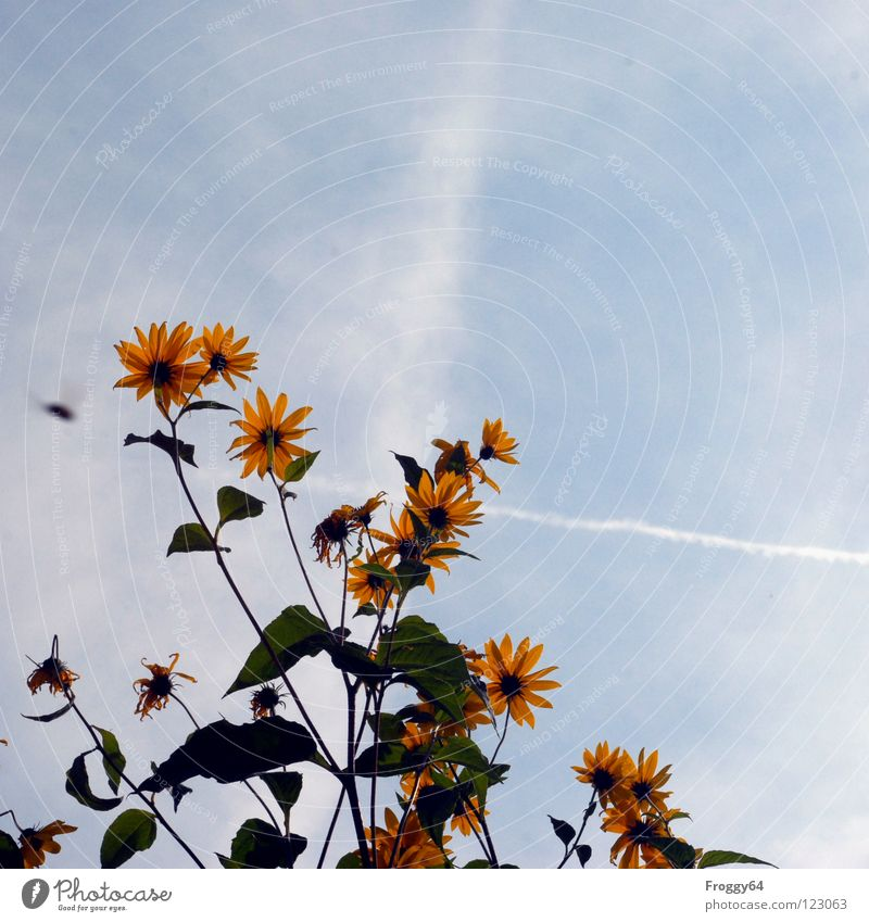 Valentine's Day Summer Plant Botany Part of the plant Verdant Environment Sunflower Sky blue Flower Blossom Stalk Back-light Worm's-eye view Beautiful weather