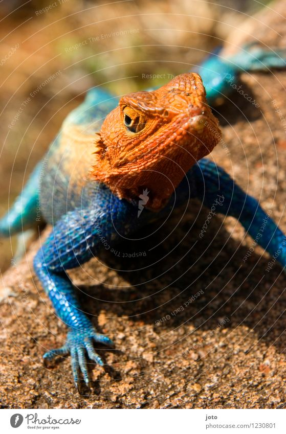 variety Nature Animal Summer Beautiful weather Lizards Observe To enjoy Crawl Sit Exceptional Elegant Exotic Crazy Blue Orange Versatile Transform Change