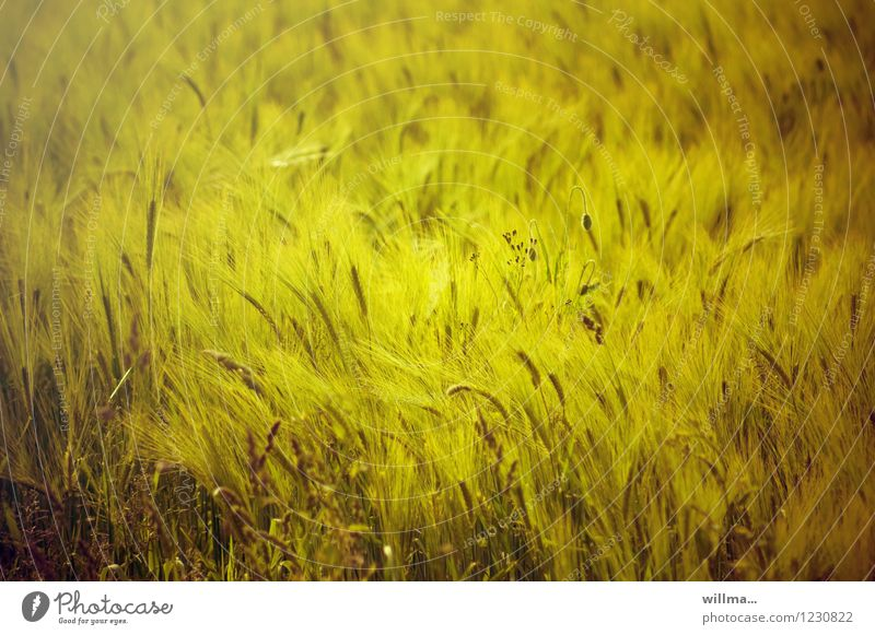 field bed Grain field Barleyfield Barley ear Field Natural Yellow Summery Summer's day Cornfield Colour photo