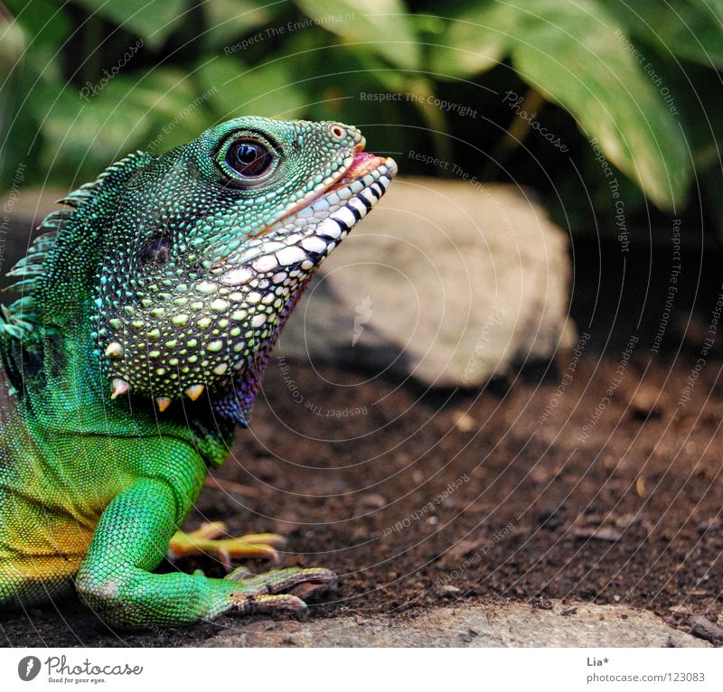 exotic Exotic Zoo Exceptional Colour Agamidae Water dragon Saurians Dragon Reptiles Iguana Spine Scales Green Head Eyes Muzzle Claw Multicoloured Detail Looking