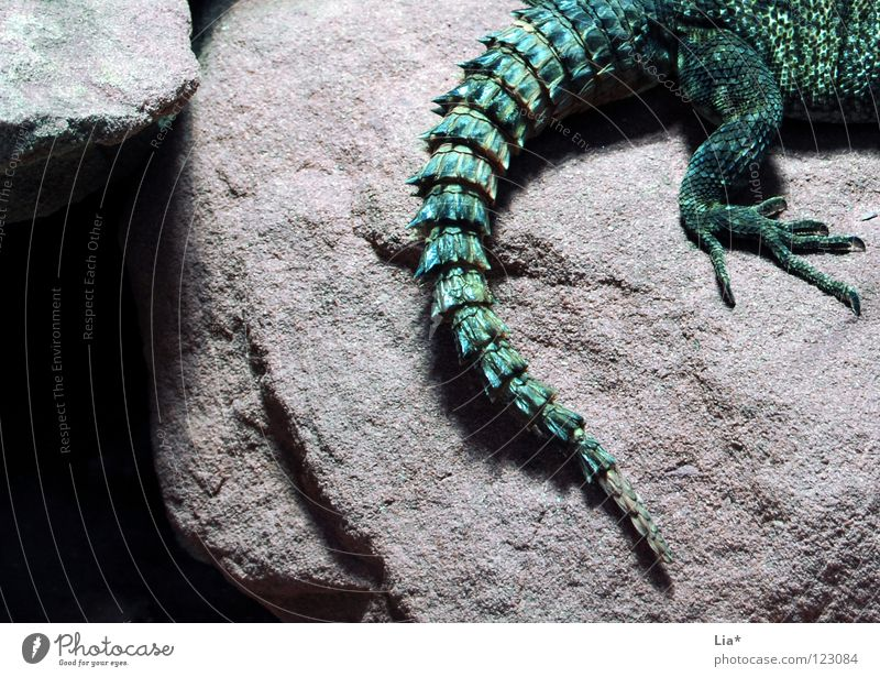 dragon Rock Animal 1 Green Agamidae Dragon Saurians Reptiles Tails Primitive times Dinosaur Spine Fantastic Cave Detail Animal portrait Thorny Claw Animal foot