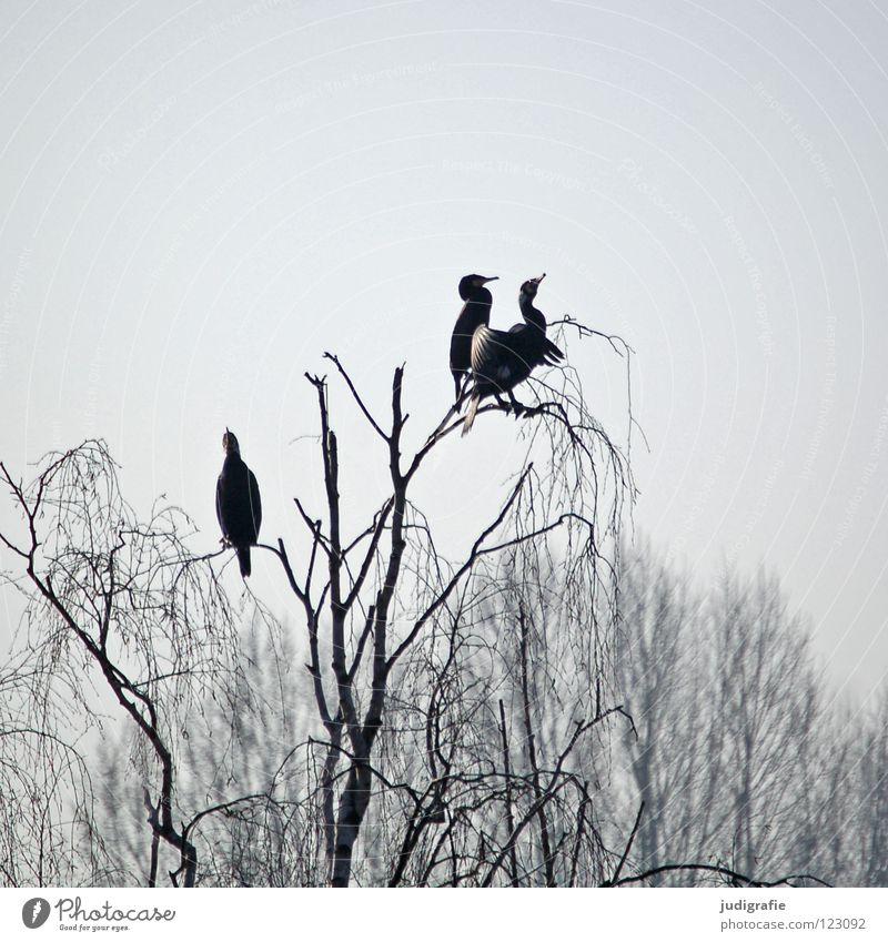 Yesterday at Silbersee Bird Birch tree Tree Forest Fog Gloomy Gray Cormorant 3 Web-footed birds Lake Pond Winter Sky Sit Vantage point Relaxation Feather Coast