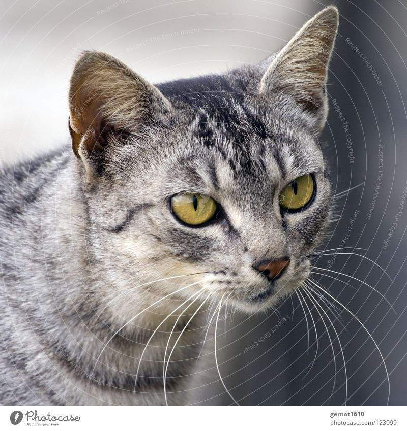 Green Calm Black Eyes Gray Cat Wild animal Ear Observe Listening Concentrate Watchfulness Mammal Accuracy Hunter