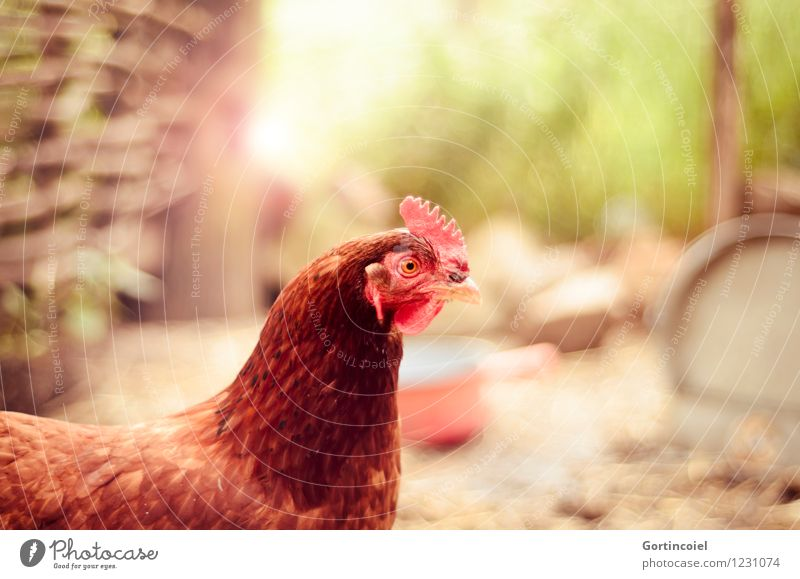 hen Summer Animal Farm animal Bird Animal face 1 Happy Brown Barn fowl Organic produce Chicken coop Free-range rearing Country life Feather Crest Colour photo