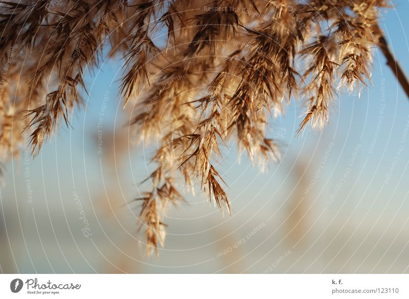 reed Common Reed Steinhuder Lake Grass Spring Coast plants mardorf steinhude Macro (Extreme close-up)