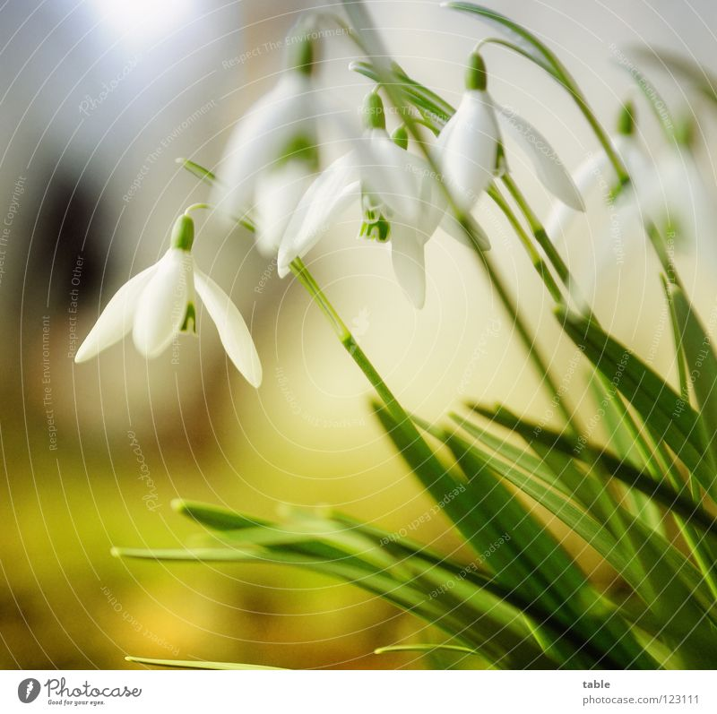 winter Snowdrop Flower Beautiful Small Cute Angiosperm Amaryllis Spring March Winter sun Sunbeam Physics Green White Blossom Insect Macro (Extreme close-up)