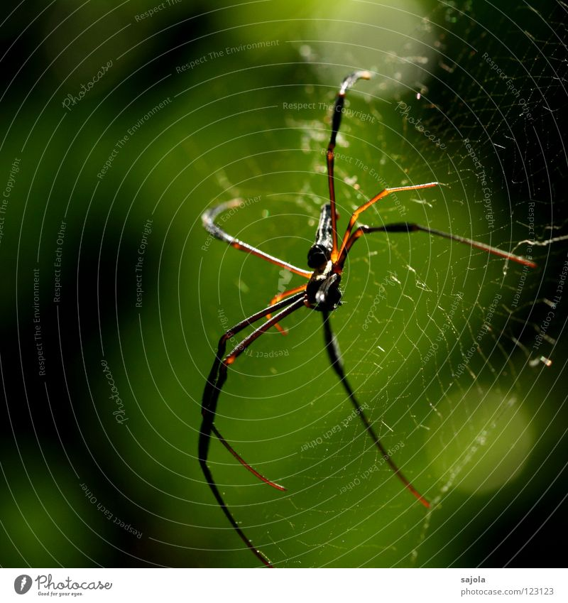 nephila pilipes IV Nature Animal Wild animal Spider Head Legs 1 Net Wait Disgust Gold Fear Accuracy Singapore Asia Observe Colour photo Multicoloured