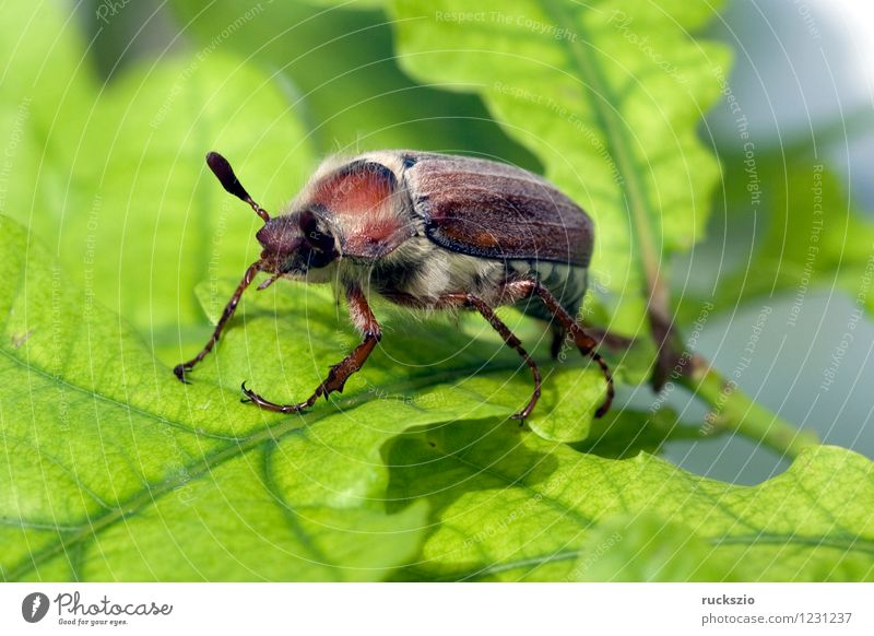 Maikaefer; Melolontha; Male; Nature Animal Beetle Free Black White May bug melolontha field maikaefer skullcap Insect whitebox black box Neutral Still Life