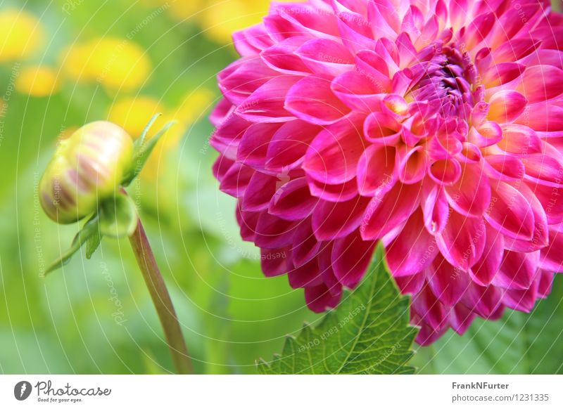 Blooming Firework Plant Summer Flower Leaf Blossom Multicoloured Pink Colour photo Exterior shot Close-up Deserted Sunlight Central perspective