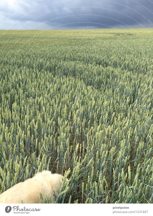 A dog in the cornfield 3 Nature Landscape Plant Agricultural crop Animal Pet Dog 1 Field To go for a walk Walk the dog Colour photo Exterior shot Deserted
