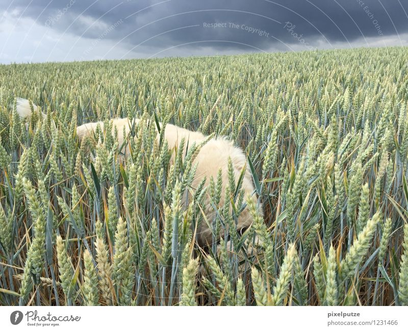A dog in the cornfield 4 Nature Landscape Storm clouds Plant Agricultural crop Animal Pet Dog Pelt 1 Field Walk the dog To go for a walk Colour photo