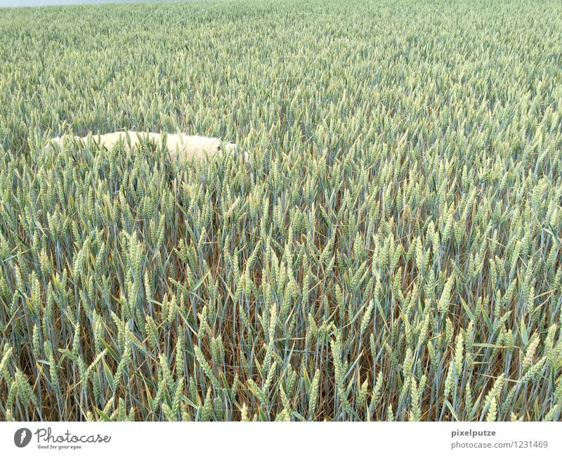 A dog in the cornfield Nature Landscape Agricultural crop Field Animal Pet Dog 1 Harvest To go for a walk Walk the dog Colour photo Exterior shot Deserted
