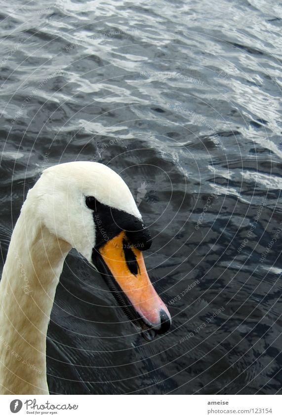 Water White Beautiful Summer Animal Black Lake Orange Bird River Landmark Neck Duck Beak Swan Alster