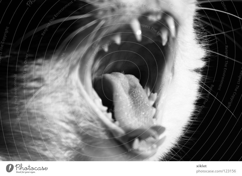 cat Cat Open Animal Mammal Boredom Black & white photo Mouth Teeth Bite Snarl Set of teeth Dangerous Threaten Tongue Yawn Fatigue