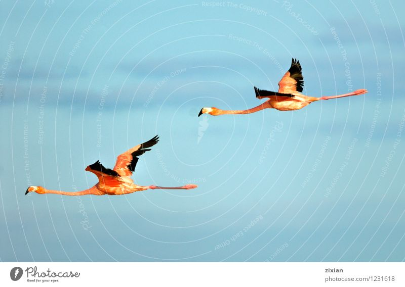 Greater Flamingos Animal Wild animal Bird Fly Wing 2 Pair of animals Flying Hunting Looking Elegant Natural Multicoloured Red Black Colour photo Deserted