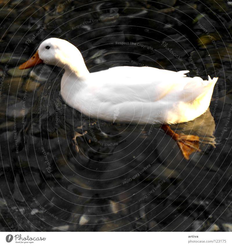 papera Bird goose lake white fly swim water sea