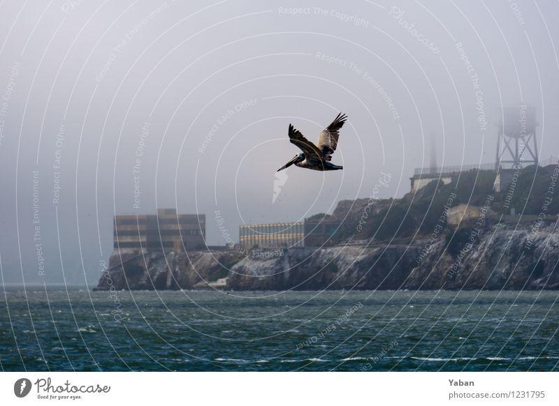 Alcatraz - Pelican off Pelican Island Vacation & Travel Tourism Trip Far-off places Sightseeing City trip Ocean Animal Wild animal Bird 1 Flying Colour photo