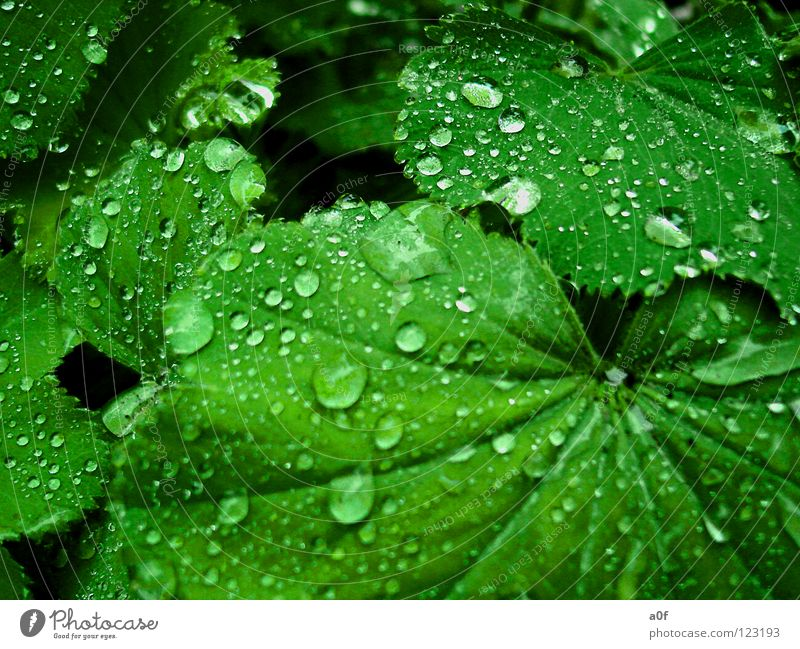 Green Flower Rain Drops of water Wet Alchemilla vulgaris