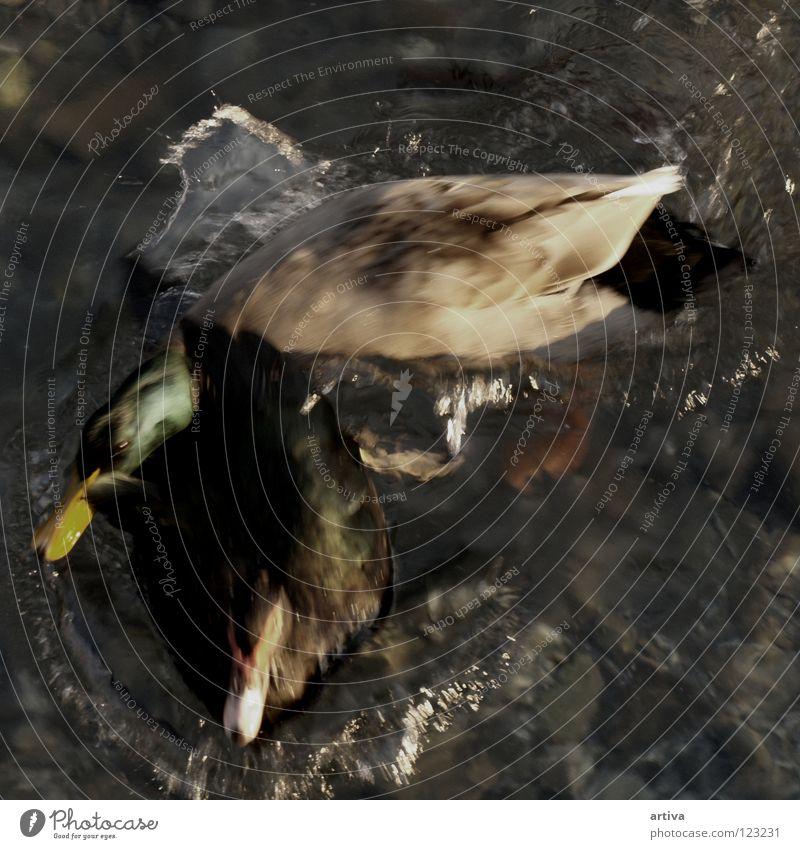 duck Bird lake goose water fly sea collision