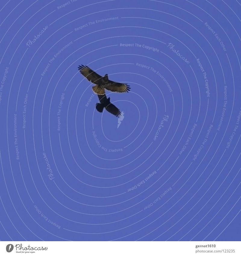 Sky Blue Black Air Bird Flying Feather Sporting event Beak Competition Defensive Attack Crow Bird of prey Hawk