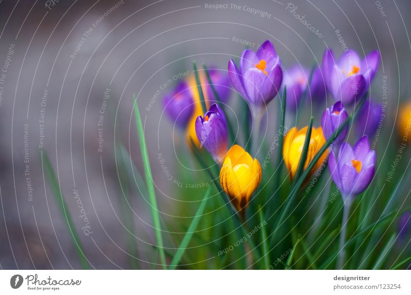 early riser Crocus Spring flowering plant Winter Flower Blossom Growth Flourish Life Multicoloured Physics Wake up Arise Morning Alert Jump Live Plant