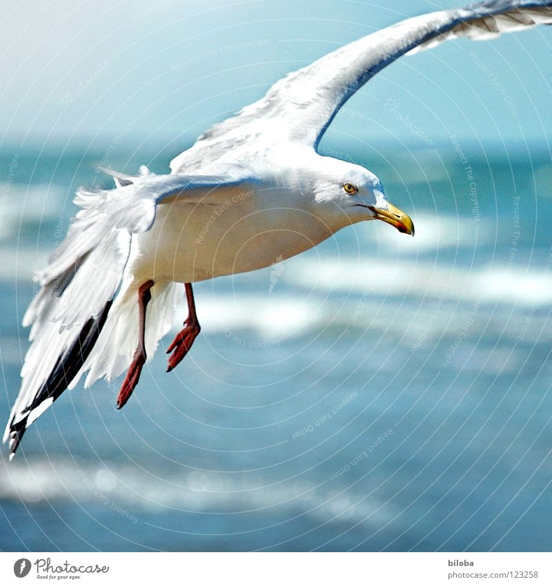 I'll fly one! Seagull White Black Headwind Disheveled Fighter Ocean Waves Wilderness Gale Swell Beach Coast Sea bird Bird Animal Infinity Beautiful Iron blue
