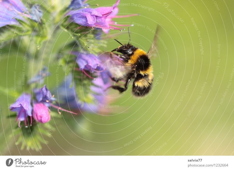 bumblebee Environment Nature Plant Animal Summer Flower Blossom Wild plant Garden Wild animal Bumble bee 1 Touch Blossoming Fragrance Flying Small Cute Thorny