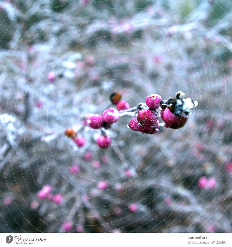 spring awakening Winter Mannheim Hoar frost Bushes Pink White Berries Snow