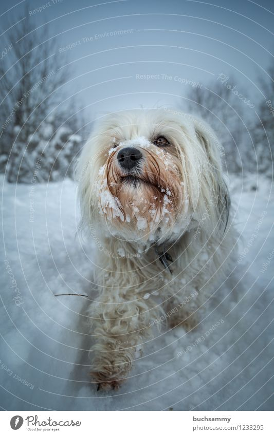 snowhound Nature Animal Winter Bad weather Ice Frost Snow Snowfall Pelt Long-haired Pet Dog 1 Small White bishop Watchdog Havanese bichon Colour photo