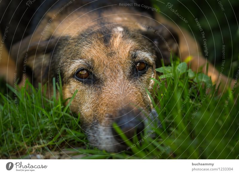 rest Grass Pet Dog 1 Animal Brown Green 2015 eyes Europe kira Rottweiler Shepherd dog Germany Colour photo Exterior shot Copy Space right Copy Space top Day