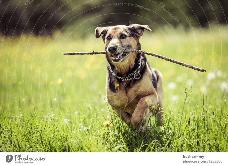 Happy dog Grass Pet Dog Brown Green port eyes Europe Rottweiler Shepherd dog Action Germany Colour photo Multicoloured Exterior shot Deserted Copy Space left