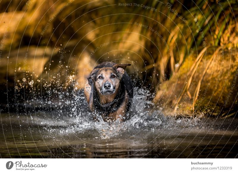 Dog in the water Joy Playing Water Drops of water Spring Pet 1 Animal Jump Wet Speed Crossbreed Rottweiler Shepherd dog Germany Colour photo Exterior shot