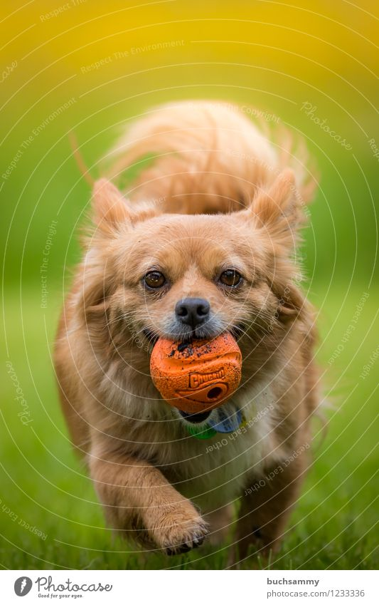 Dog with ball Nature Spring Pet 1 Animal Jump Brown Yellow Green White Ball Europe Germany Small Retrieve Playing Going Colour photo Exterior shot Deserted Day