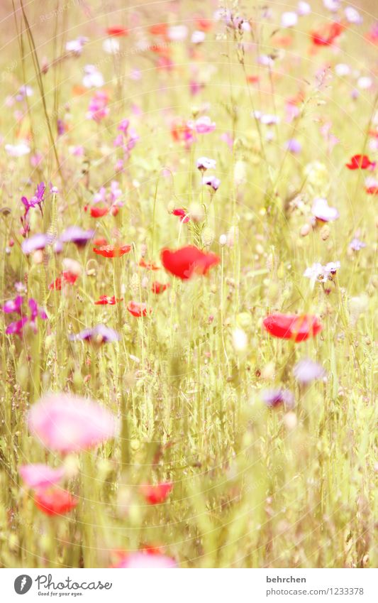 summer love Nature Plant Spring Summer Beautiful weather Flower Grass Leaf Blossom Wild plant Poppy Garden Park Meadow Field Blossoming Faded Growth Fragrance