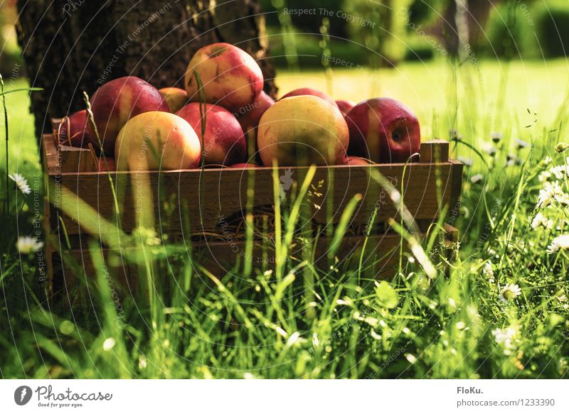 harvest time Food Fruit Apple Nutrition Organic produce Vegetarian diet Environment Plant Sun Sunlight Summer Grass Fresh Healthy Delicious Yellow Green Red