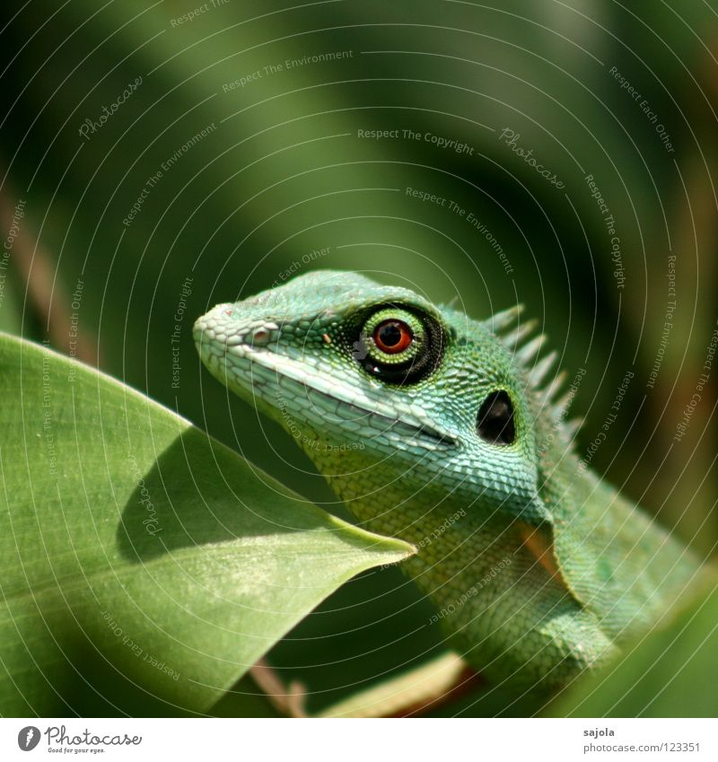 agame Animal Virgin forest Animal face 1 Observe Looking Wait Long Green Change Agamidae Lizards Reptiles Asia slow-tailed dragon Circle Botanical gardens