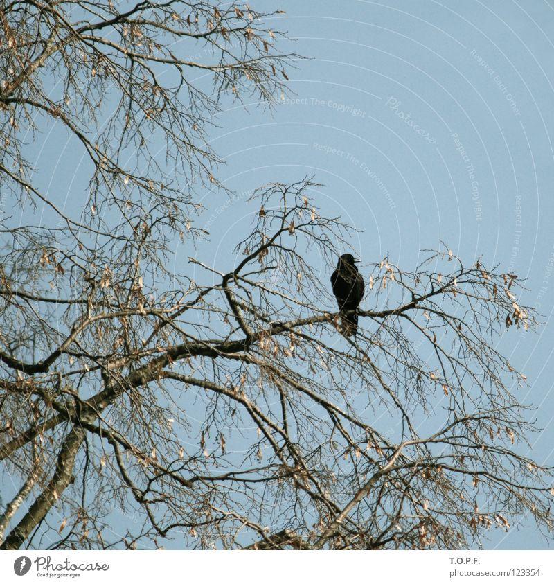 Nature Sky Tree Loneliness Freedom Bird Flying Sit Wing Switzerland Branch Twig Sparse Blackbird