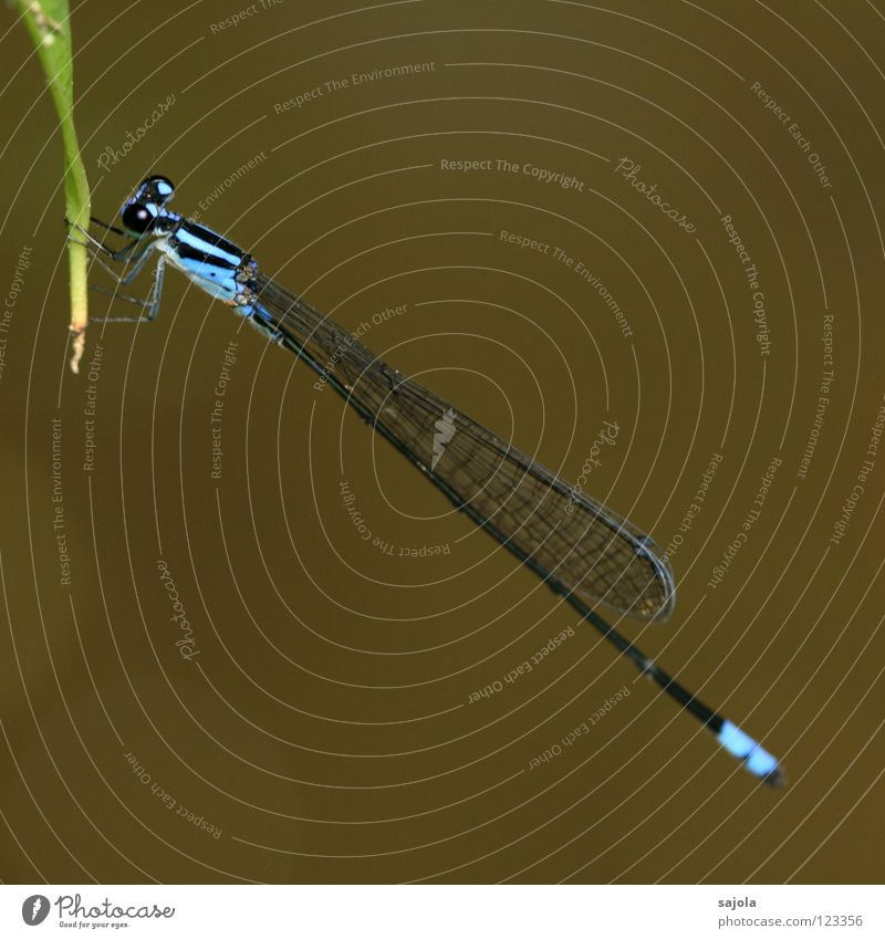 archibasis viola Animal Virgin forest Wing Thin Blue Small dragonfly Dragonfly Light blue Azure blue Violet plants Compound eye Asia Singapore Colour photo