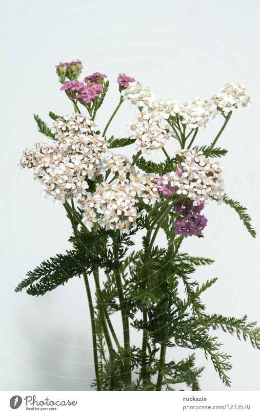 Yarrow; Achillea; millefolium; Alternative medicine Nature Plant Wild plant Meadow Field Free Pink Black White Common Yarrow Weed field weed meadow devil