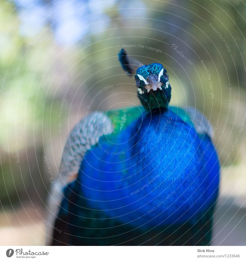 Such a peacock Animal Wild animal Bird Wing Zoo 1 Blue Green Peacock Feather Poultry Pennate Looking Exceptional Perspective Colour photo Exterior shot Detail