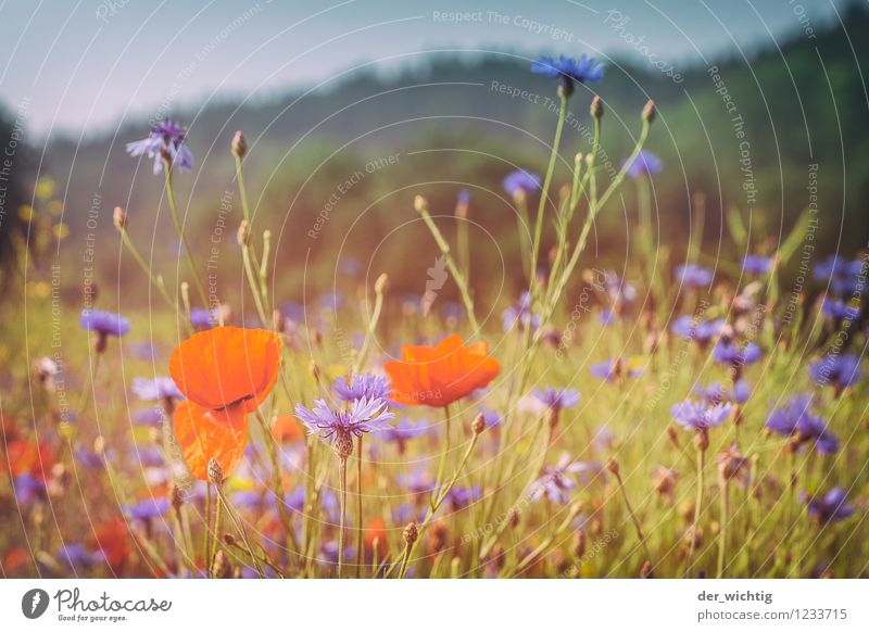 Poppy seed and grain 1 Environment Nature Landscape Plant Sky Beautiful weather Poppy blossom Cornflower Meadow Forest Mountain Thueringer Wald Esthetic Warmth