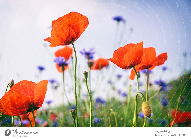 Poppy seed and grain 2 Landscape Plant Beautiful weather Flower Poppy blossom Cornflower Meadow Fragrance Fresh Blue Yellow Green Red Horizon Nature Environment