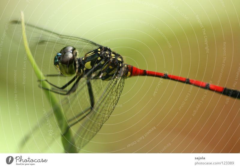 The kite is loose! Animal Wing Yellow Red Black Dragonfly Insect Asia Singapore Striped Compound eye Hind quarters Fate lathrecista agrionoptera Colour photo