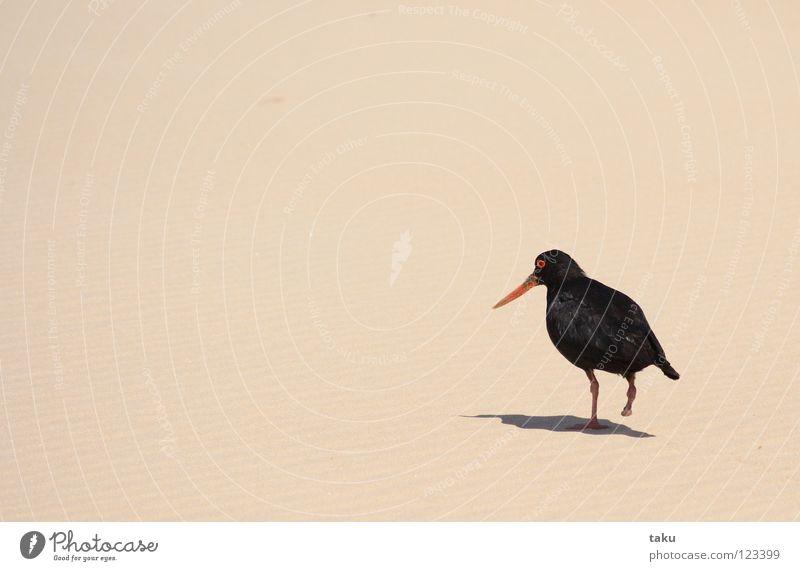 OYSTERCATCHER Bird Beach Black Feather Nest p.b. oystercatcher one leg orange beak Shadow Sand hollered caw Flying Freedom long walk taku aroha ki a koe ...