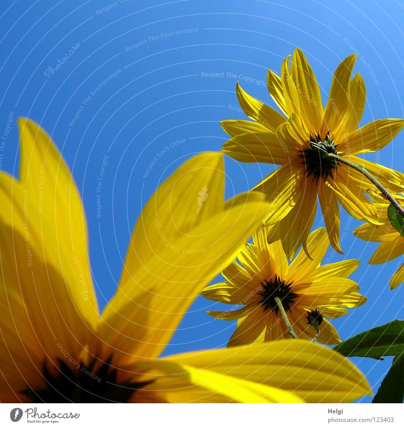 yellow flowers from the frog's perspective in front of a blue sky Flower Blossom Sunflower Blossom leave Stalk Side Side by side Together Towering Yellow Green